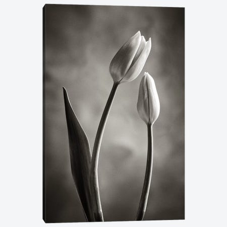Two-tone Tulips III Canvas Print #WAC4421} by Debra Van Swearingen Art Print
