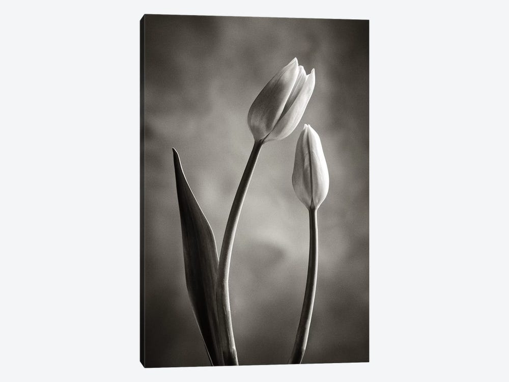 Two-tone Tulips III 1-piece Canvas Art