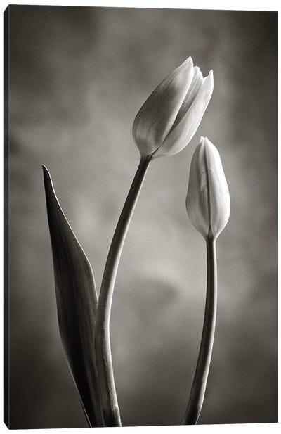 Two-tone Tulips III Canvas Art Print