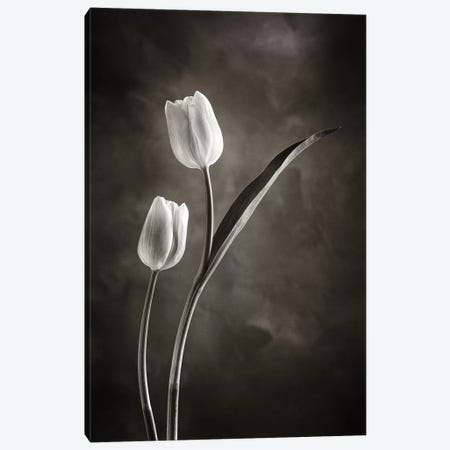 Two-tone Tulips IV Canvas Print #WAC4422} by Debra Van Swearingen Art Print