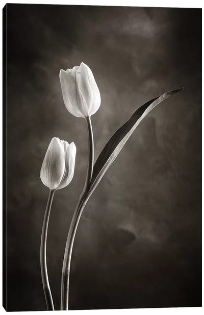 Two-tone Tulips IV Canvas Art Print