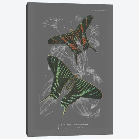 Lepidoptera II Canvas Print #WAC4503} by Wild Apple Portfolio Canvas Artwork