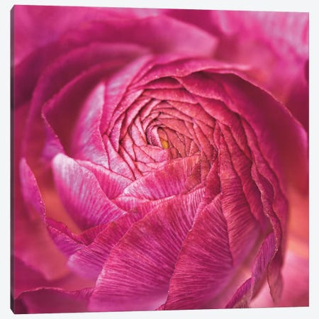 Ranunculus Abstract II Canvas Print #WAC4693} by Laura Marshall Canvas Wall Art