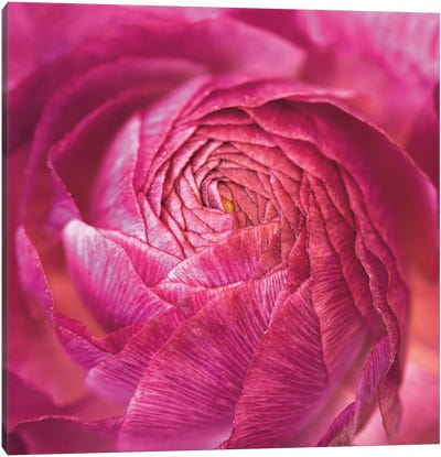 Ranunculus Abstract II Canvas Print #WAC4693