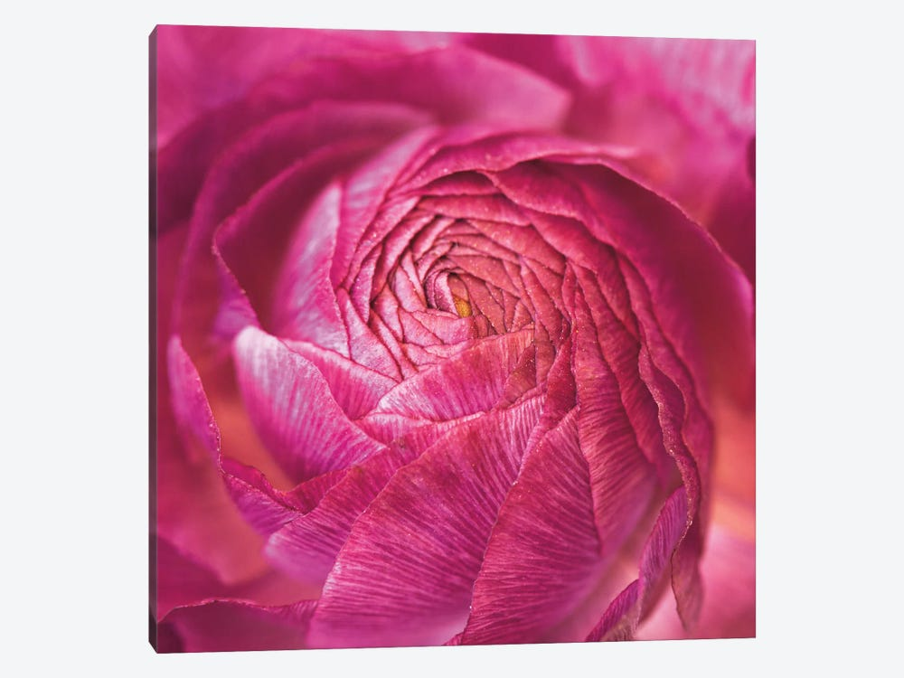 Ranunculus Abstract II by Laura Marshall 1-piece Canvas Art