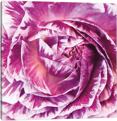 Ranunculus Abstract IV Canvas Art Print