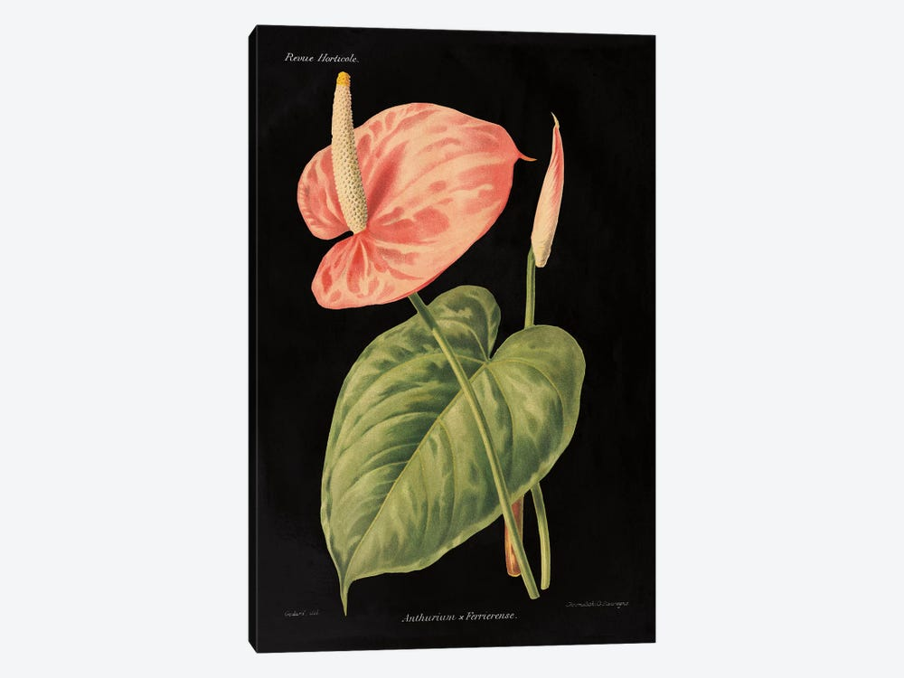 Anthurium Ferrierense by Wild Apple Studio 1-piece Art Print