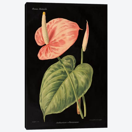 Anthurium Ferrierense Canvas Print #WAC4853} by Wild Apple Studio Canvas Art