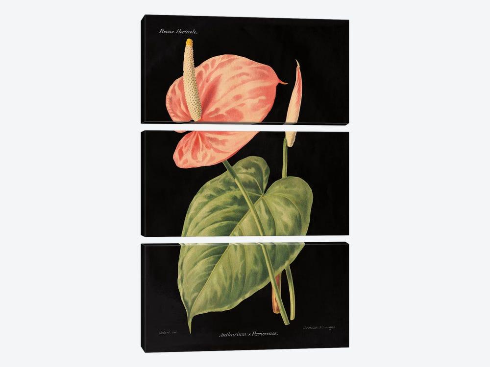 Anthurium Ferrierense by Wild Apple Studio 3-piece Canvas Print