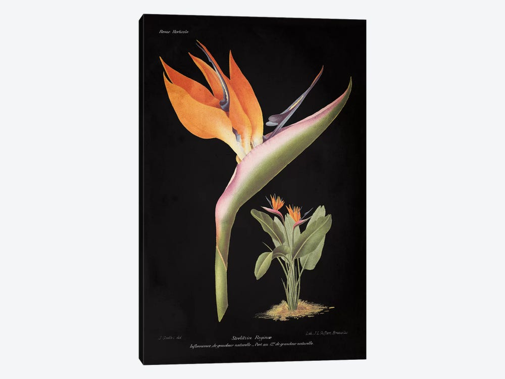 Strelitzia Reginoe by Wild Apple Studio 1-piece Canvas Wall Art