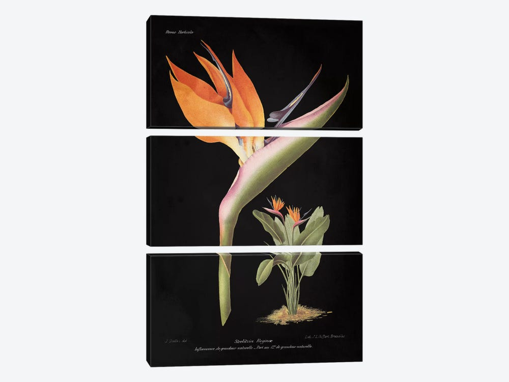 Strelitzia Reginoe by Wild Apple Studio 3-piece Canvas Wall Art