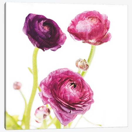 Spring Ranunculus I Canvas Print #WAC5006} by Laura Marshall Canvas Print
