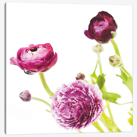 Spring Ranunculus II Canvas Print #WAC5007} by Laura Marshall Canvas Print
