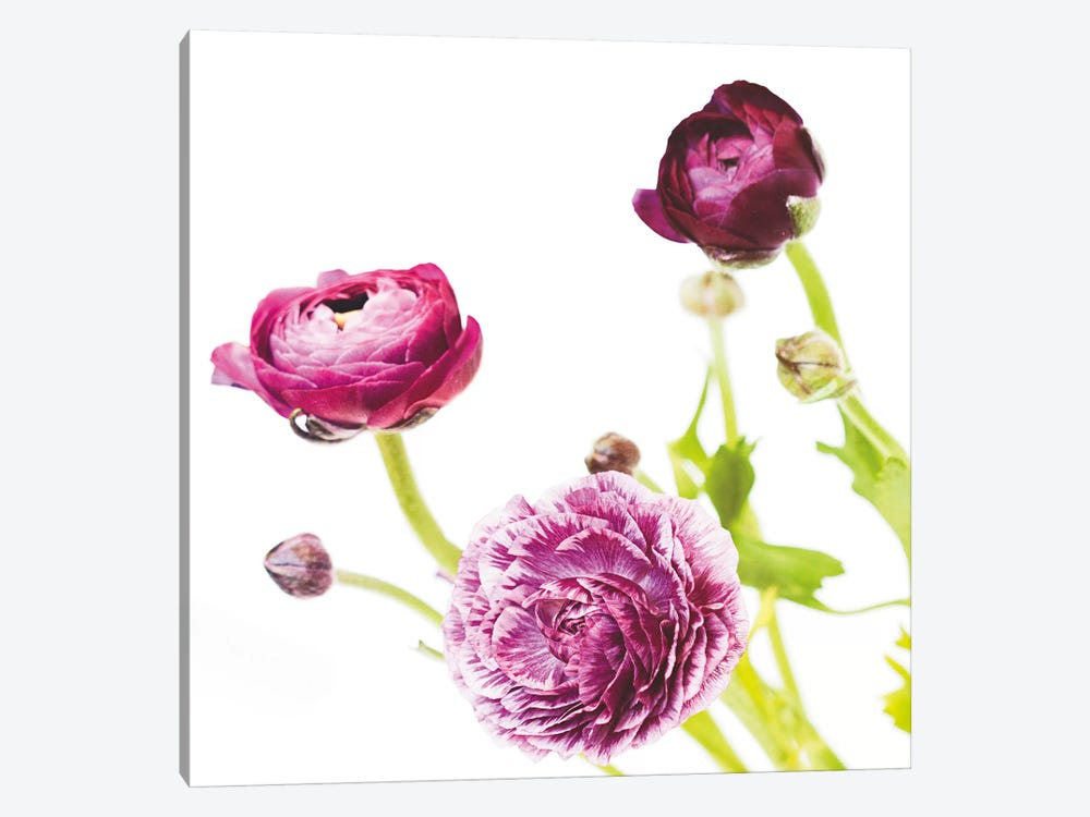 Spring Ranunculus II by Laura Marshall 1-piece Art Print