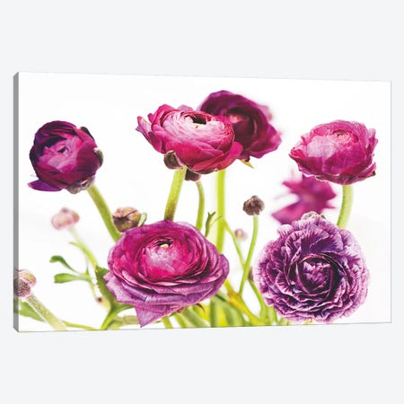 Spring Ranunculus III Canvas Print #WAC5008} by Laura Marshall Canvas Artwork