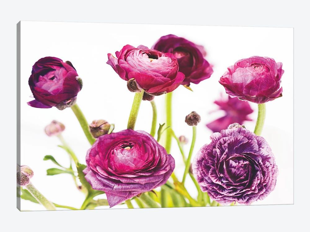 Spring Ranunculus III by Laura Marshall 1-piece Canvas Art