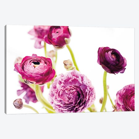 Spring Ranunculus IV Canvas Print #WAC5009} by Laura Marshall Canvas Artwork