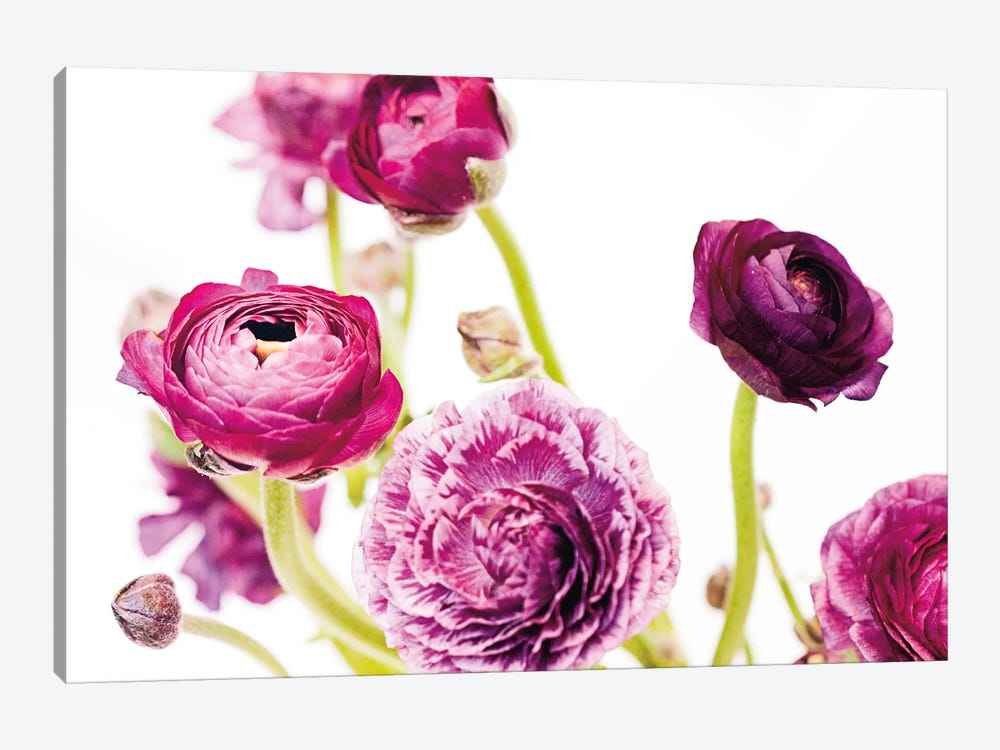 Spring Ranunculus IV by Laura Marshall 1-piece Canvas Print