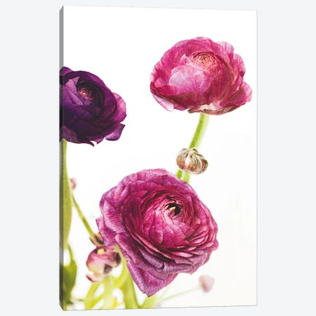 Spring Ranunculus V Canvas Print #WAC5010} by Laura Marshall Canvas Print