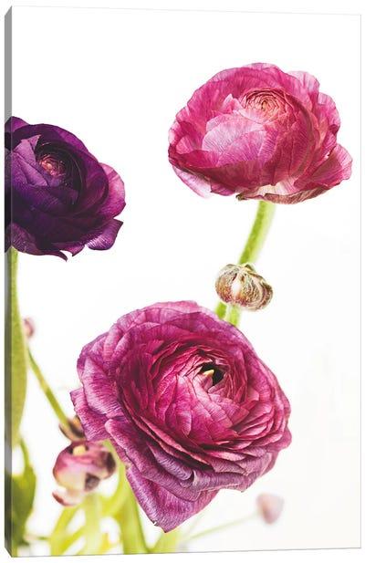 Spring Ranunculus V Canvas Art Print