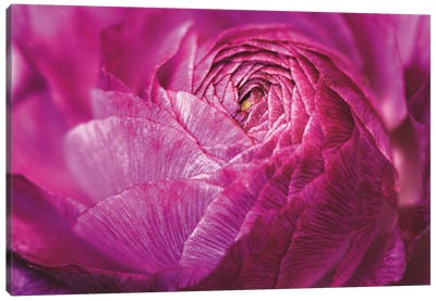 Ranunculus Abstract V Canvas Art Print