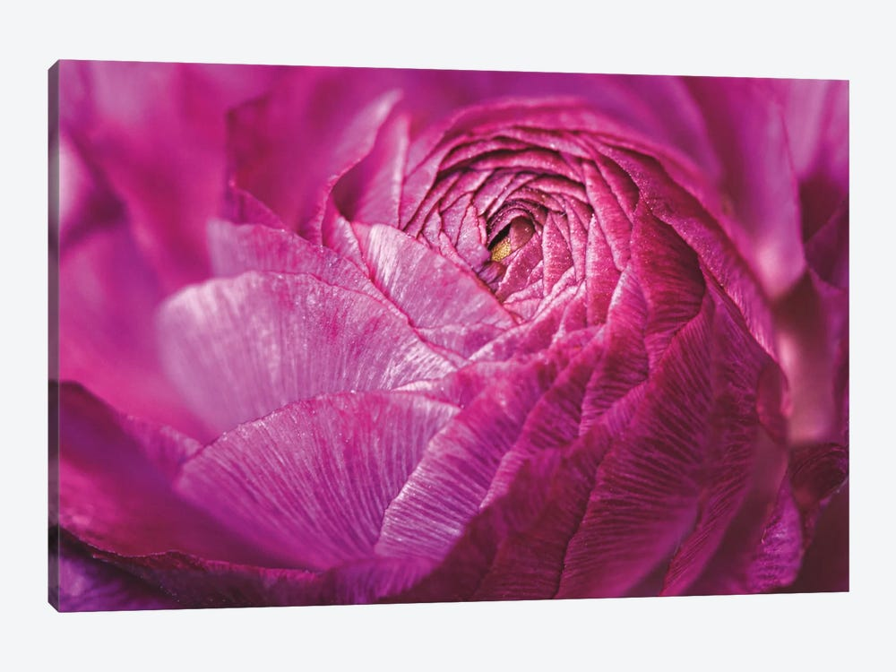 Ranunculus Abstract V by Laura Marshall 1-piece Canvas Wall Art