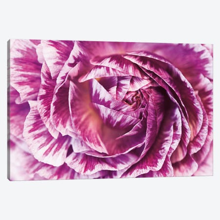 Ranunculus Abstract VI Canvas Print #WAC5334} by Laura Marshall Art Print