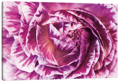 Ranunculus Abstract VI Canvas Art Print