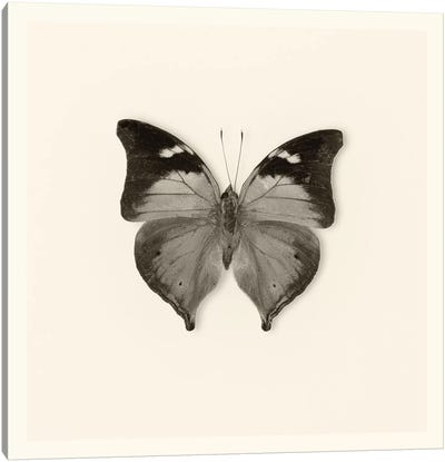 Butterfly VII In B&W Canvas Art Print