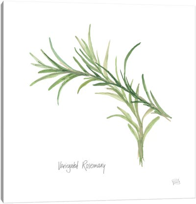 Variegated Rosemary Canvas Art Print