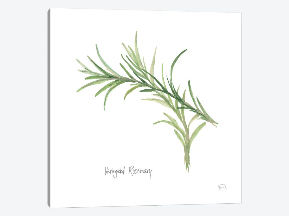 Variegated Rosemary by Chris Paschke 1-piece Canvas Print