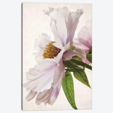 Translucent Peony II Canvas Print #WAC7208} by Debra Van Swearingen Art Print