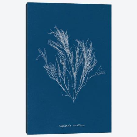 Delicate Coral III Canvas Print #WAC9045} by Wild Apple Portfolio Canvas Art Print