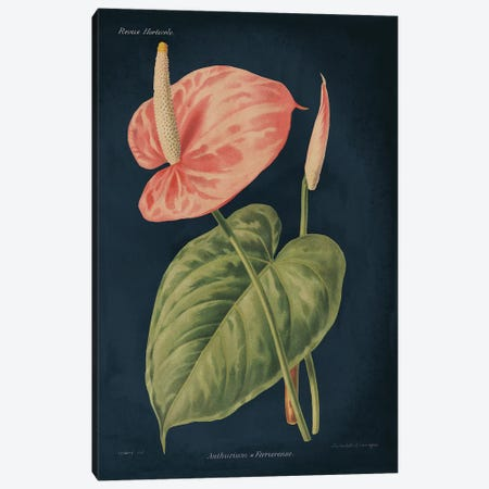Anthurium Ferrierense Dark Blue Canvas Print #WAC9685} by Wild Apple Portfolio Canvas Art Print