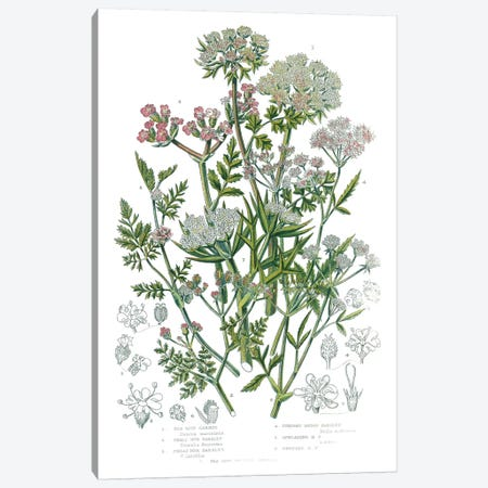 Flowering Plants IV Canvas Print #WAC9701} by Wild Apple Portfolio Art Print
