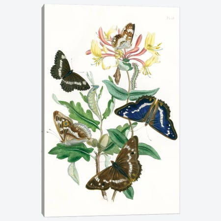British Butterflies I Canvas Print #WAG147} by Unknown Artist Canvas Print