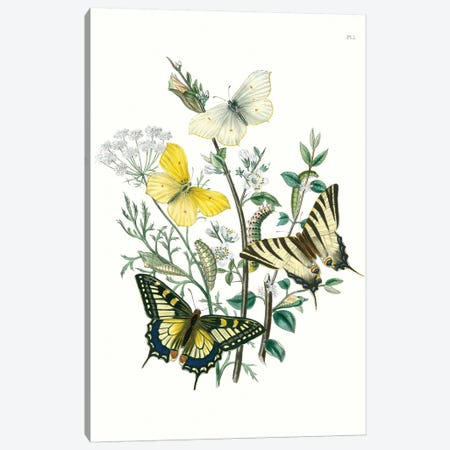 British Butterflies II Canvas Print #WAG148} by Unknown Artist Canvas Art