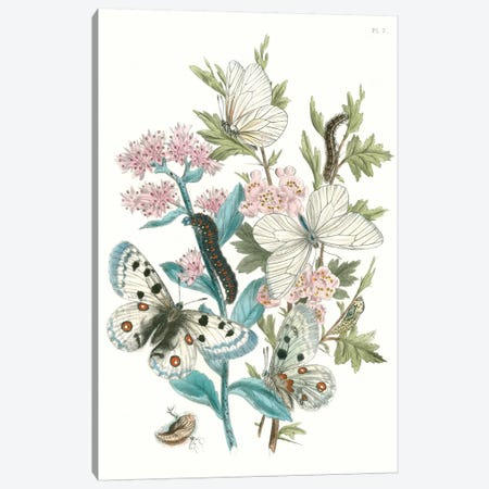 British Butterflies III Canvas Print #WAG149} by Unknown Artist Canvas Wall Art