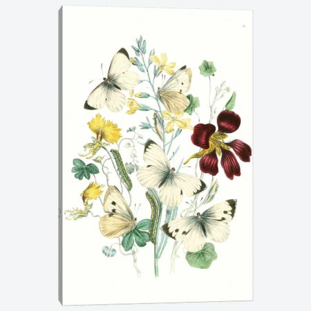 British Butterflies IV Canvas Print #WAG150} by Unknown Artist Art Print