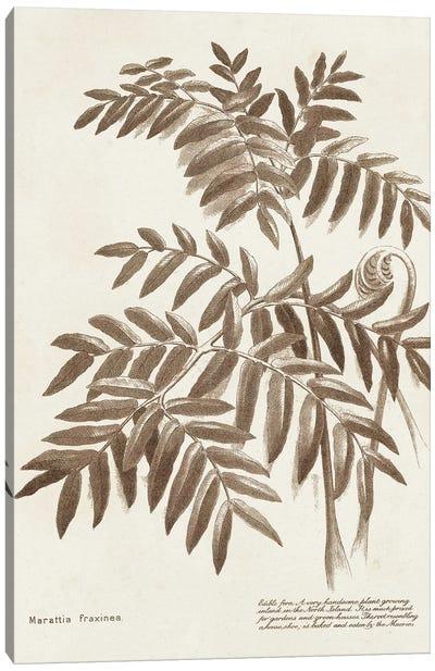 Sepia Fern Varieties II Canvas Art Print