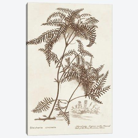Sepia Fern Varieties III Canvas Print #WAG245} by World Art Group Portfolio Canvas Art