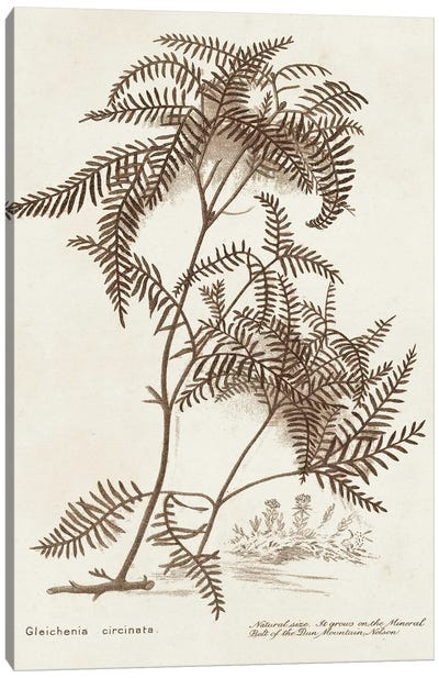Sepia Fern Varieties III Canvas Art Print