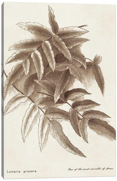 Sepia Fern Varieties IV Canvas Art Print