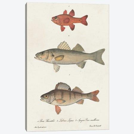 Species of Antique Fish II Canvas Print #WAG248} by World Art Group Portfolio Art Print