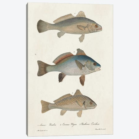 Species of Antique Fish III Canvas Print #WAG250} by World Art Group Portfolio Canvas Wall Art