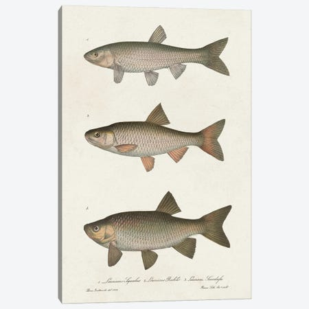Species of Antique Fish IV Canvas Print #WAG251} by World Art Group Portfolio Canvas Art