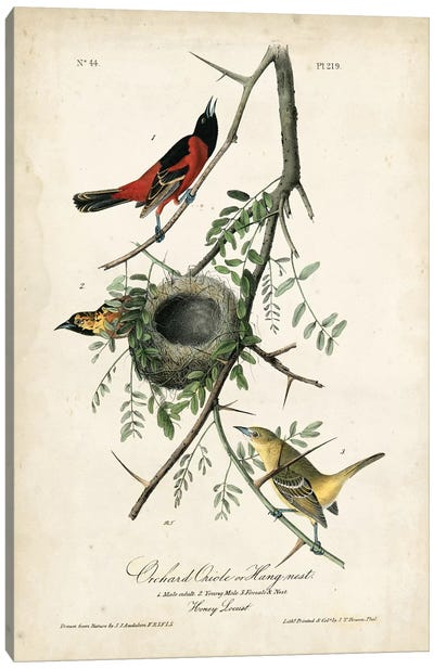 Orchard Orioles Canvas Art Print