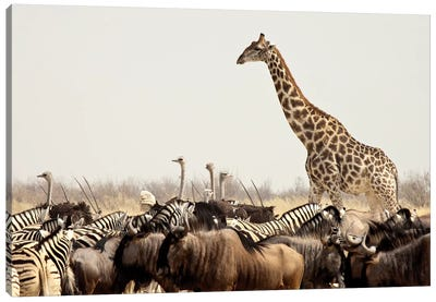 Wildlife, Etosha National Park, Namibia Canvas Art Print