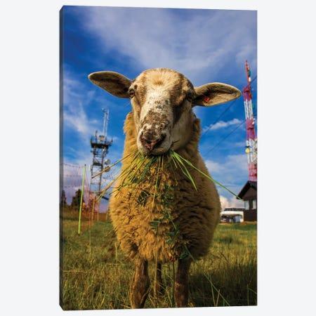 Sheep Canvas Print #WKB88} by Wiktor Baron Canvas Art