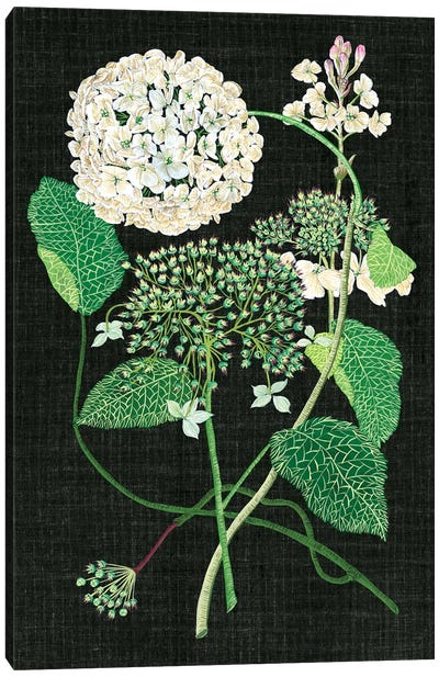 White Hydrangea Study I Canvas Print #WNG106
